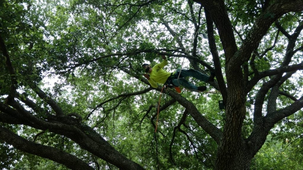 types of tree trimming performed by arborist in Houston, Texas include crown thinning