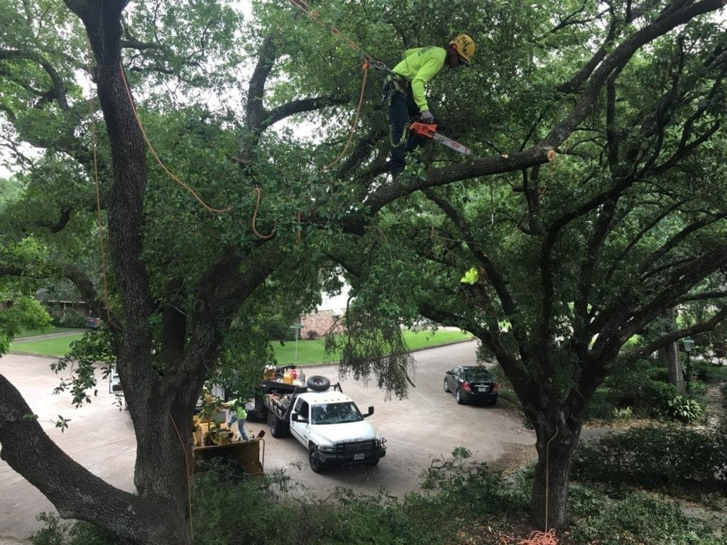 Tree Service Professional Tree Climber Pruning Tree in Houston