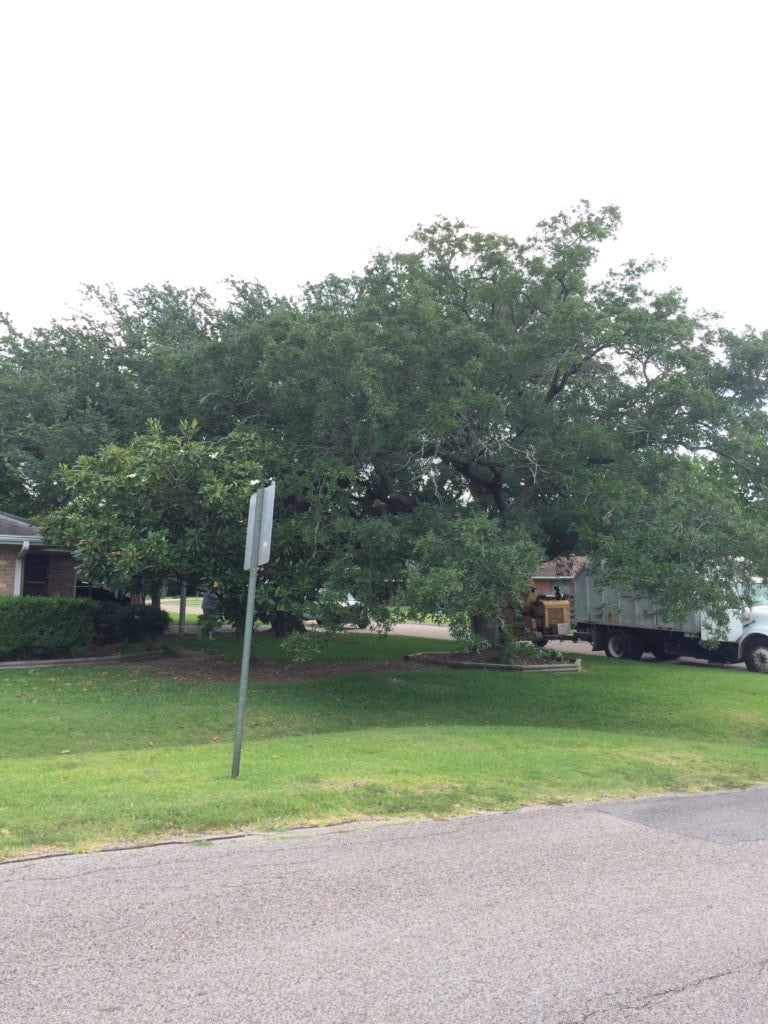 Crown Thinning Texas Tree Team Houston Tree Service Consulting