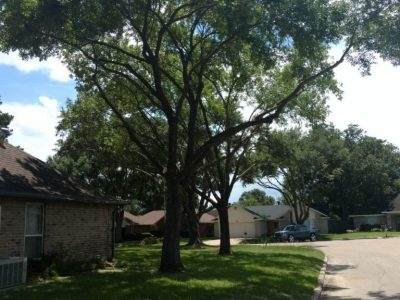 Tree risk caused by Improper pruning