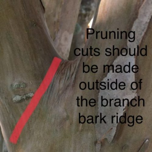where to make pruning cuts